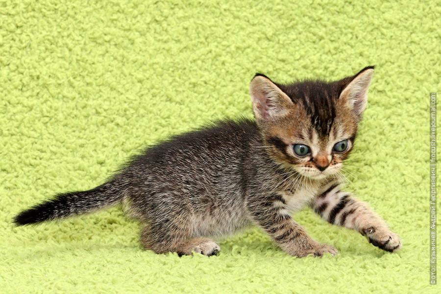 купить Бомбейские котята из питомника в Москве