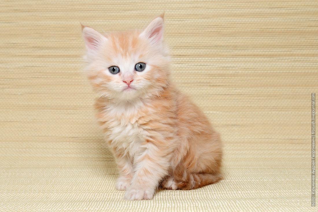 где в Москве купить котенка мейн кун