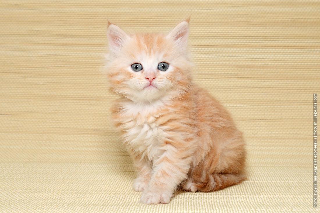 где купить котенка мейн кун