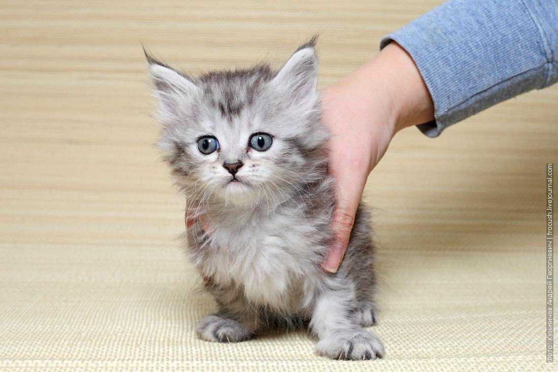 мен кун котенок продажа домашний любимец