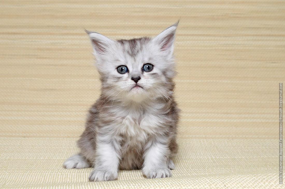продаю в Москве котят мейн-кун