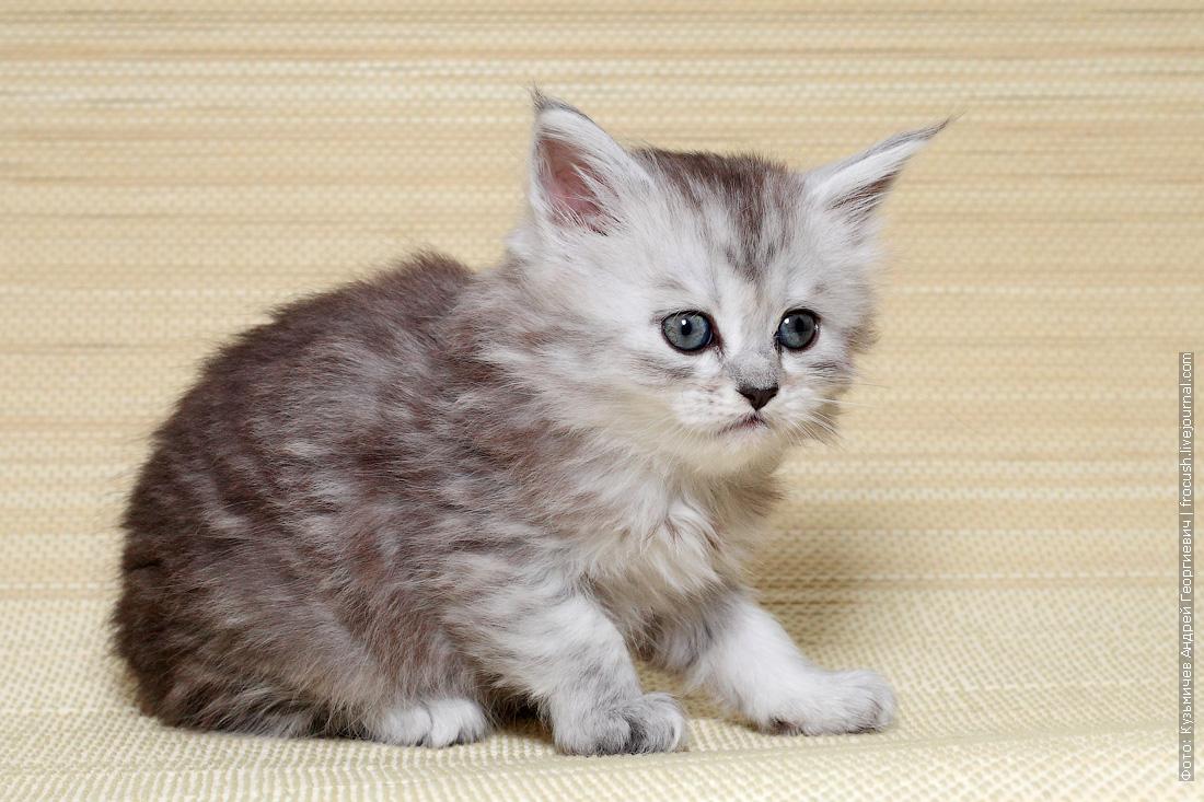 котята Мейн-кун в Москве продажа из питомника