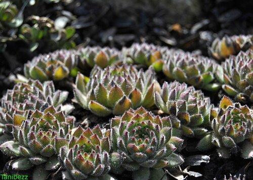 Молодило Реснитчатое / Sempervivum Ciliosum
