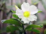 Adenium Obesum Desert Rose STAR STUDDED SKY