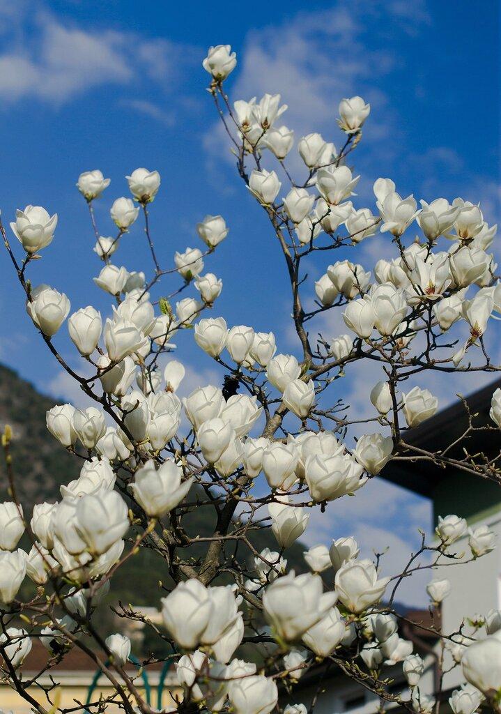 тюльпановое дерево....