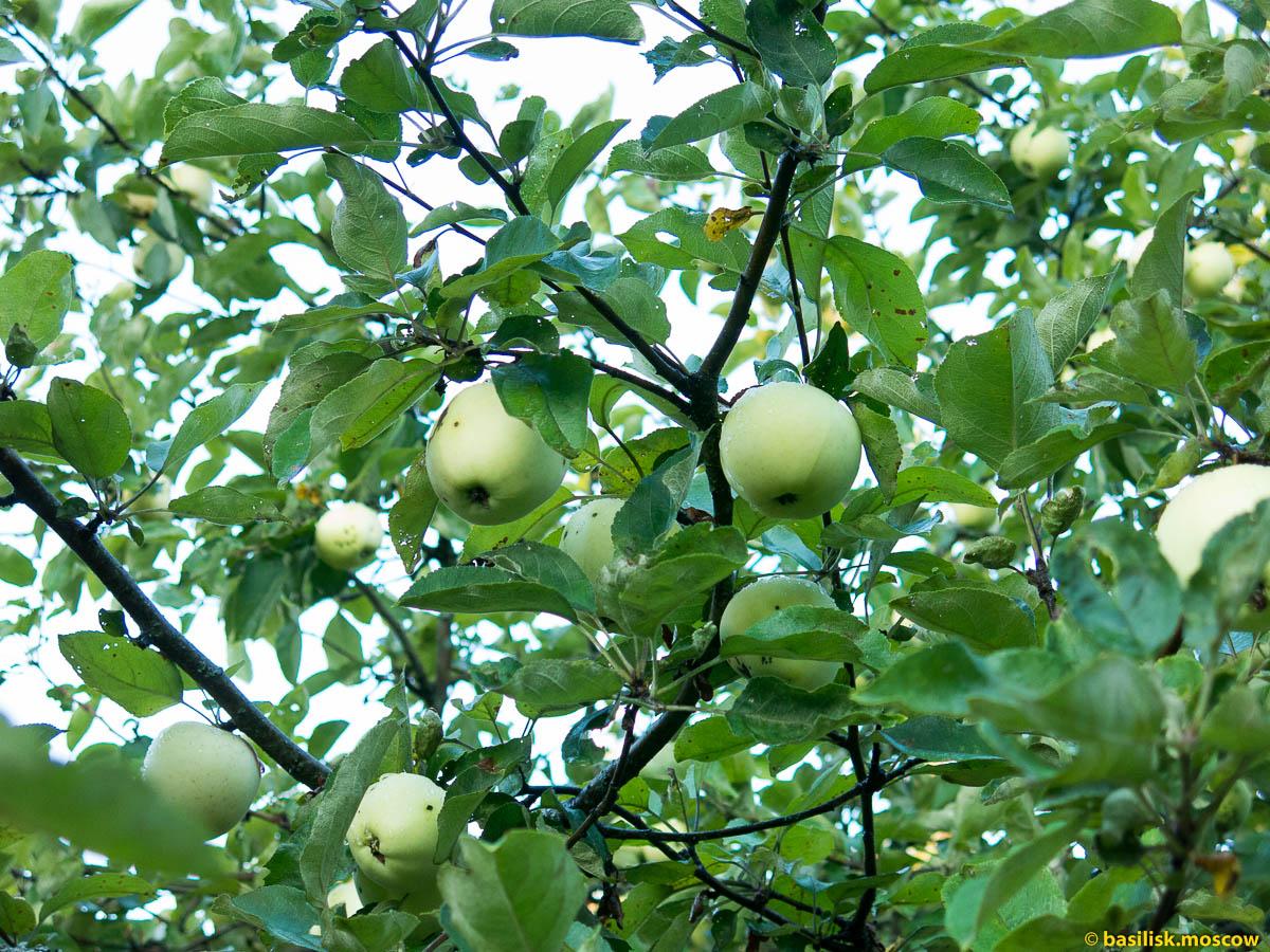 Цветы, ягоды и фрукты яблоки Белый Налив.