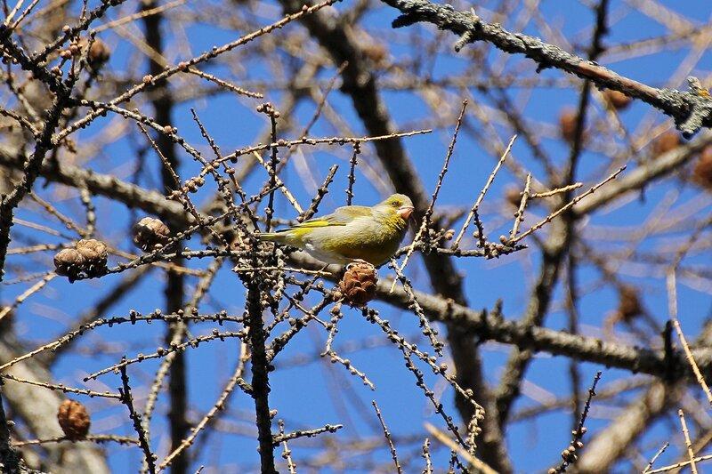 Обыкновенная зеленушка (Carduelis chloris) на лиственнице в гагаринском парке
