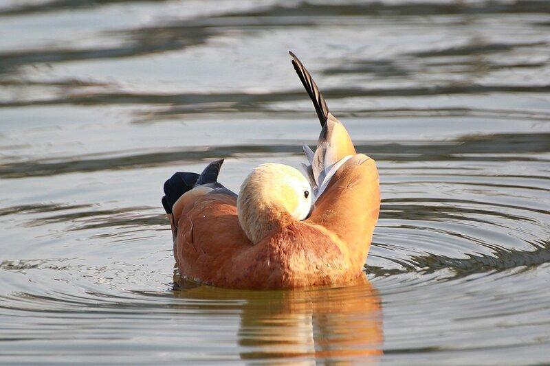 Огарь (красная утка, Tadorna ferruginea) - утка рыжего (оранжево-коричневого) окраса с более светлой головой и почти гусиным профилем чистит пёрышки