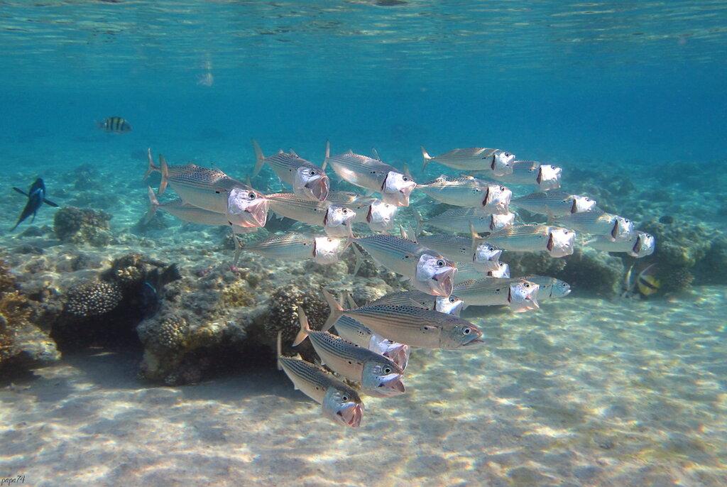 Хор рыбок-скумбрии
