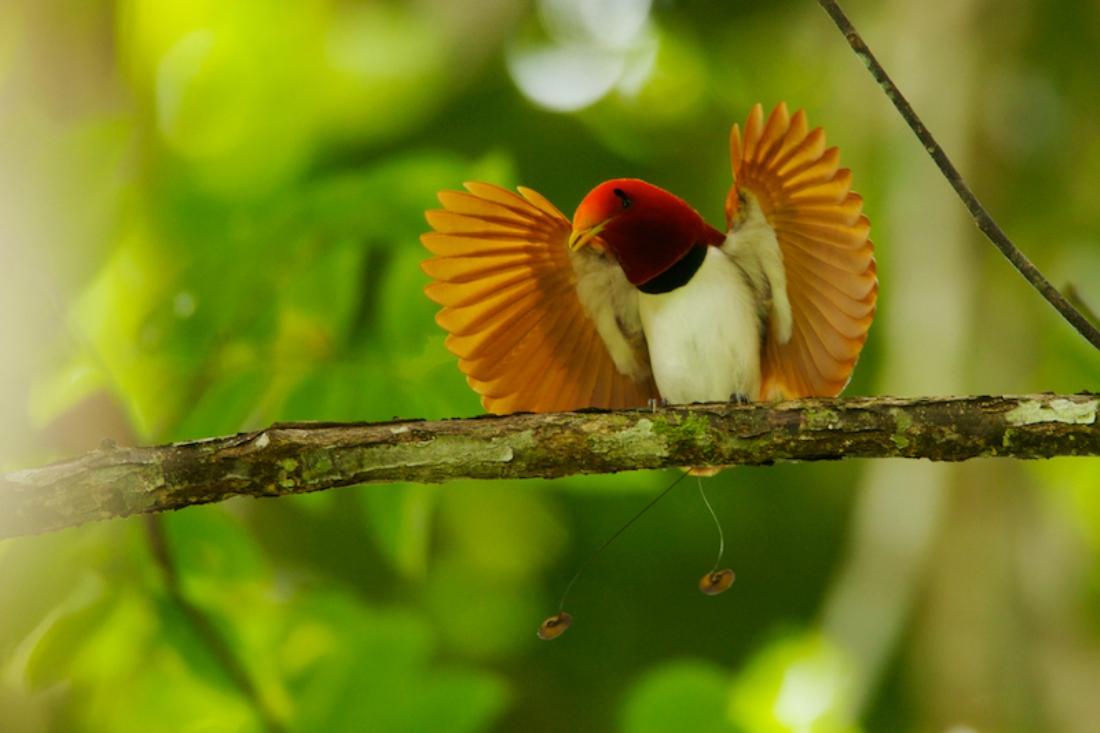 Вымпеловая райская птица