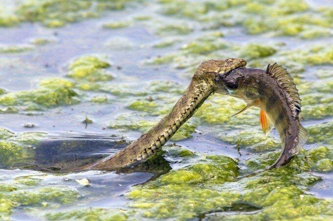 ловит змей зверек