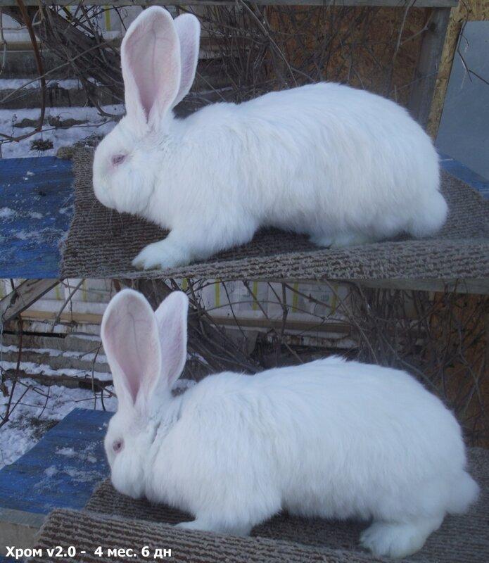 Бельгийский Великан(Обр,Ризен,Фландр) Кролики гиганты.часть 2 - Страница 37 0_cc5ee_e88e7c28_XL