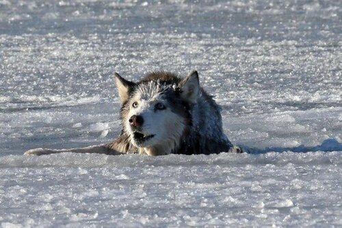 Рискуя собственной жизнью, пожарный спас собаку из ледяного плена (9 фото)