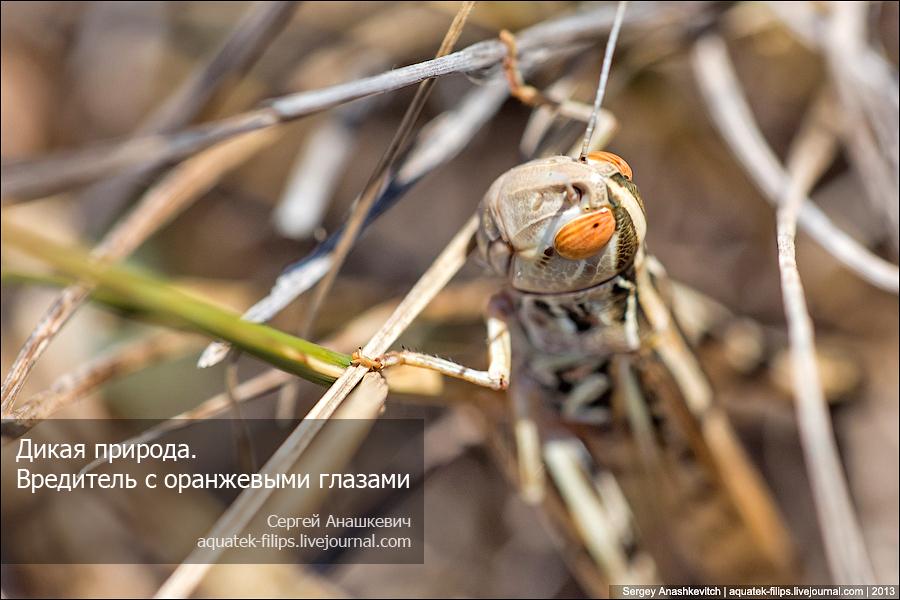 Вредитель с оранжевыми глазами