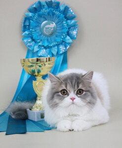 Best Kitten - 153 Kindlycat`s Gabby (Female) SFL71 g 22 Осколкова С. В. КЛК