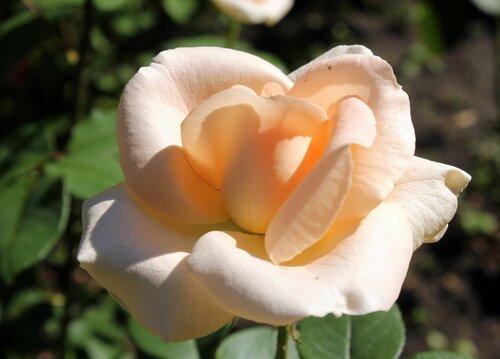 Любуюсь розой я...