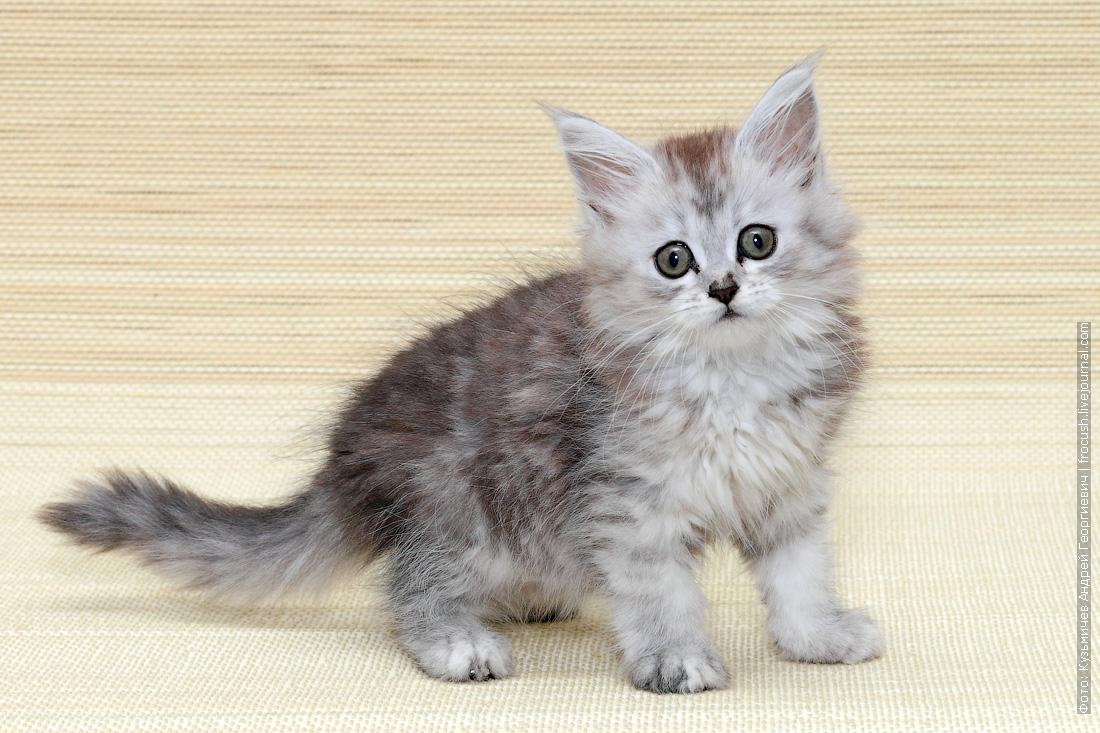 мейнкун котенок фото