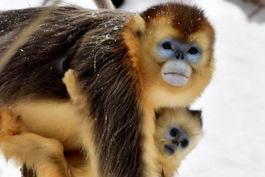 Веселые игры золотых обезьян. Радость от снега