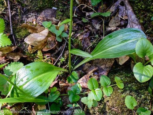Любка двулистная (Platanthera bifolia) Автор фото: Вячеслав Степанов
