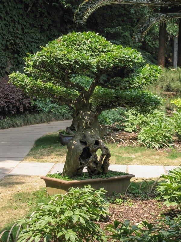 Карликовое деревце, Люхэта, Ханчжоу