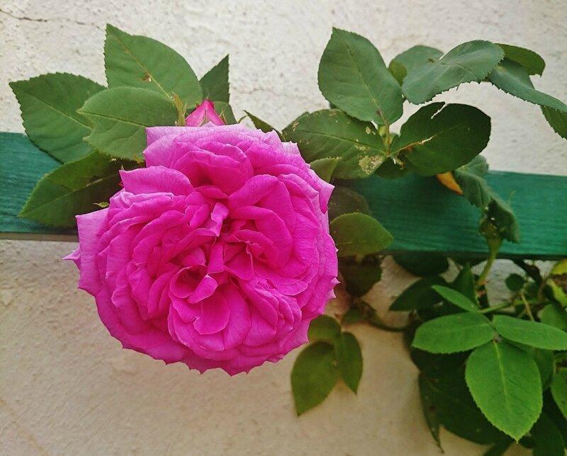 Роза Крумлова