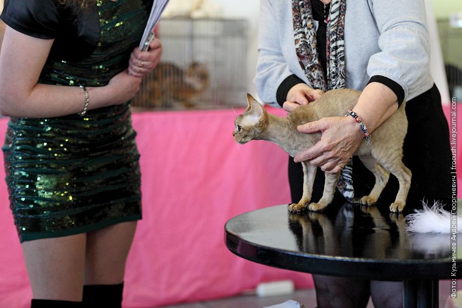 Девон-рекс кошка выставка кошек