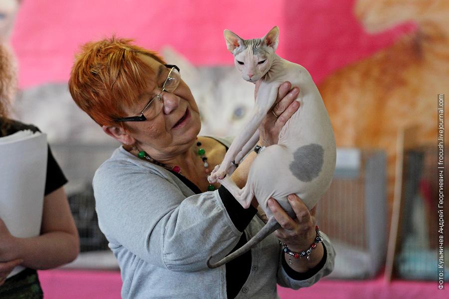 Донской сфинкс кошка