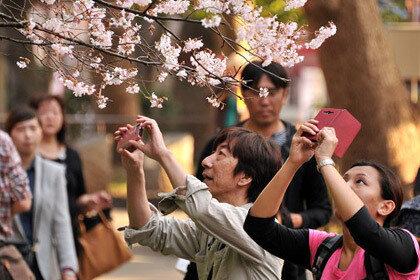 Токио цветет сакурой