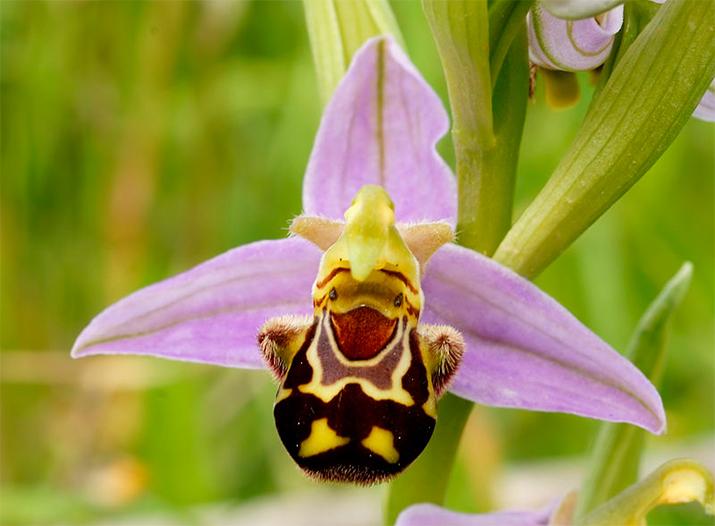 Орхидея – хохочущий шмель (Ophrys bomybliflora)