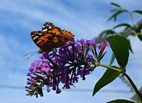"Бабочка ""Репейница на будлеи Давида"