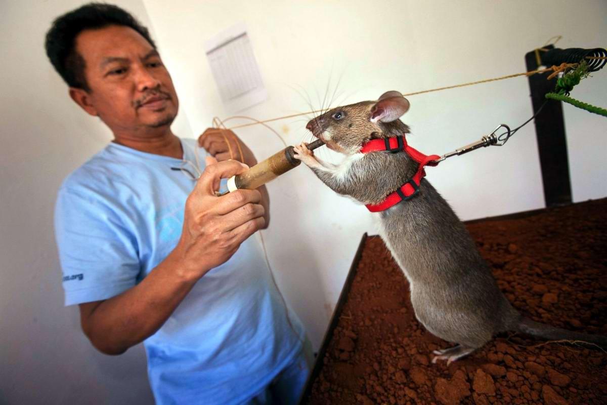 Гамбийские крысы, как лучшие саперы и вынюхиватели противопехотных мин (4)