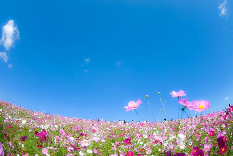 Cosmos - Hitachi Seaside Park, Japan