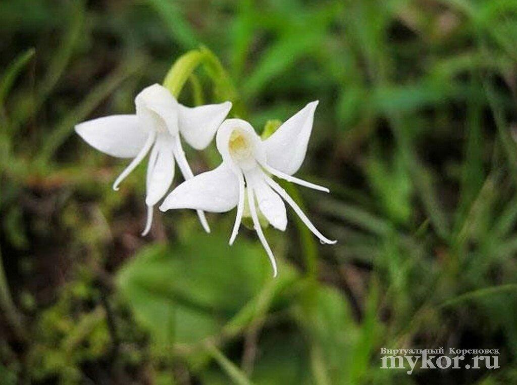 Ангельская орхидея Habenaria Grandifloriformis