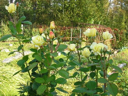 желтые розы.JPG
