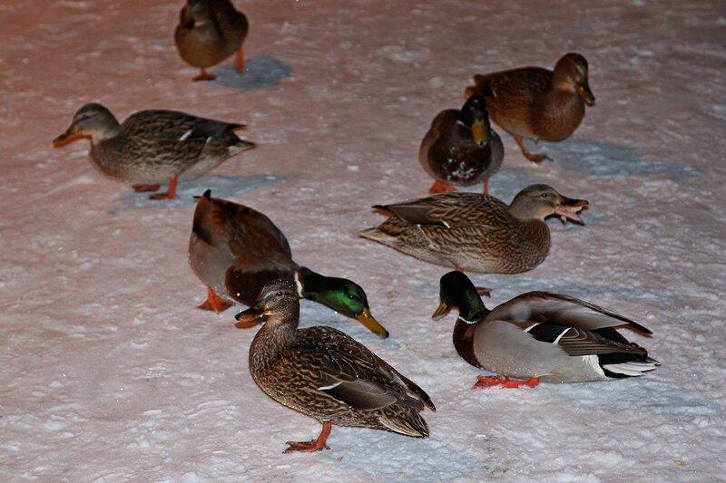 Голодные утки на снегу у пруда