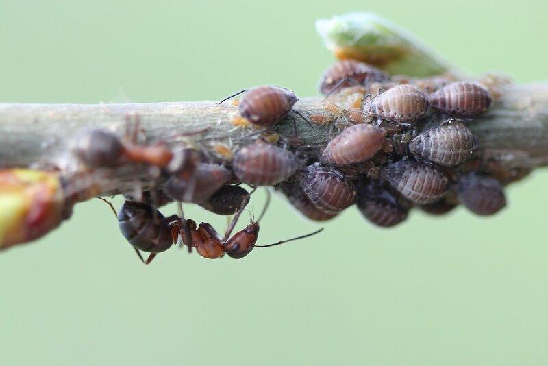 Рыжий лесной муравей (Formica rufa) и стадо тли (Aphidoidea) на муравьиной ферме на веточке дерева