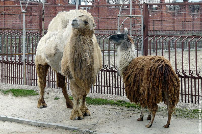 Верблюд в Белгородском зоопарке, фото Sanchess