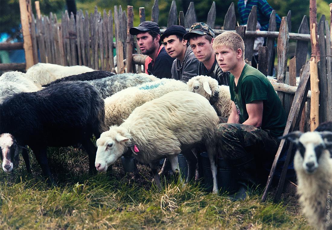 овечье молоко