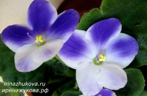 Фото красивых комнатных цветов: фото фиалок