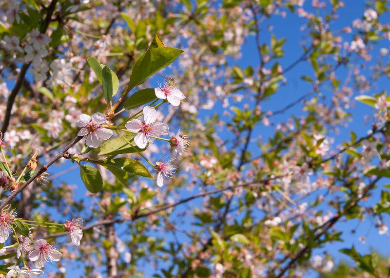 Розовая вишня