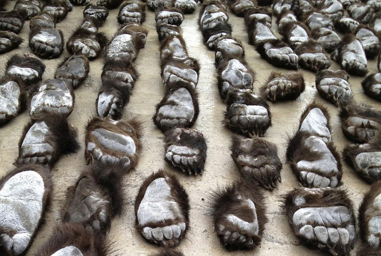 Картинки по запросу китайские браконьеры отрубают медвежьи лапы фото