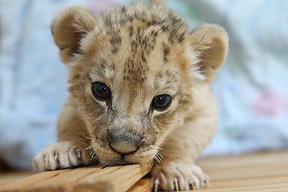Умерла львица, которую нашли в купе поезда из Москвы в Новый Уренгой