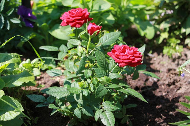 Июнь - Основные работы в саду