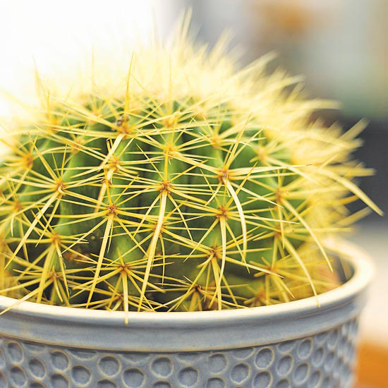 Золотой кактус баррель (Echinocactus grusoni - Эхиноцереус грузони)