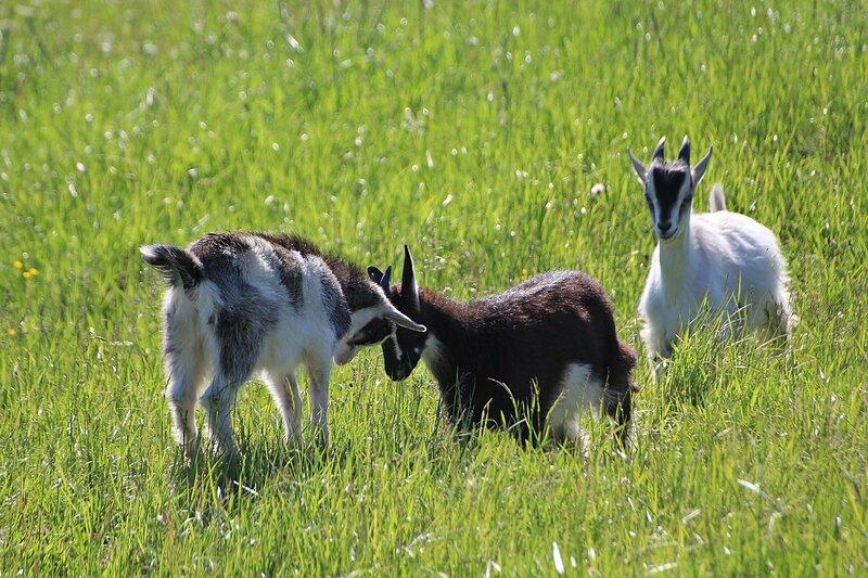 Три козлёнка резвятся на солнечном лугу
