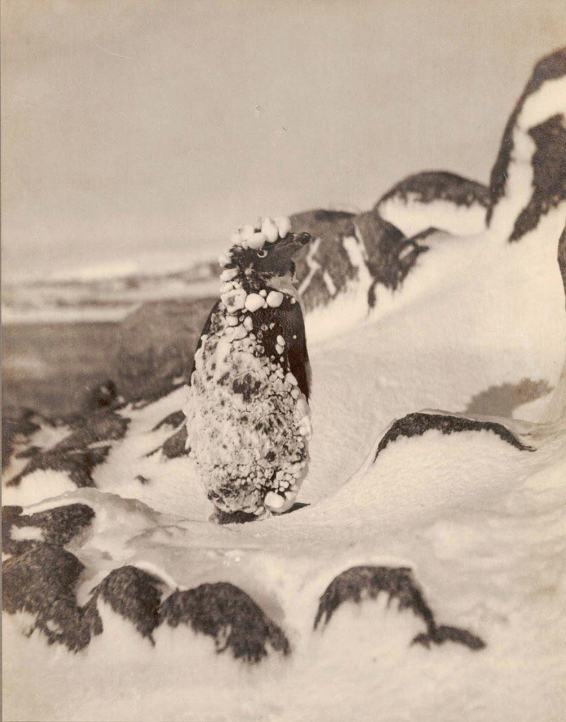 Замерзший пингвин на Земле Адели. 1912
