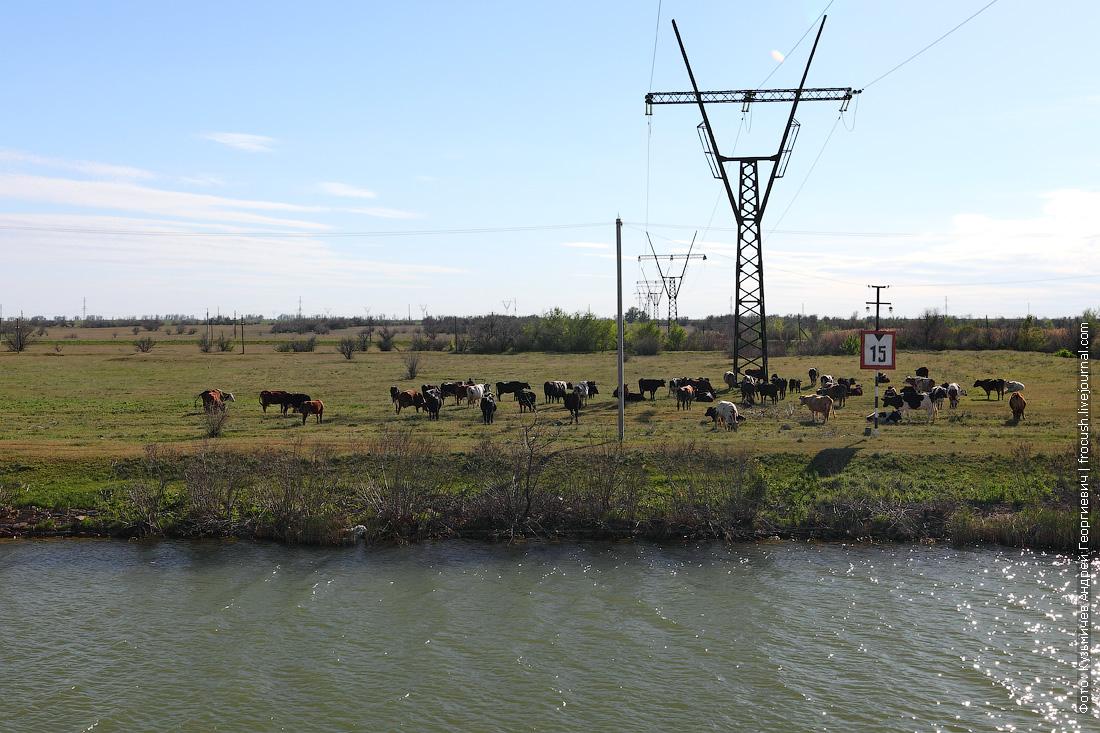 Стадо коров на берегу. Я ошибся. Черно-белые коровы в этих краях тоже есть