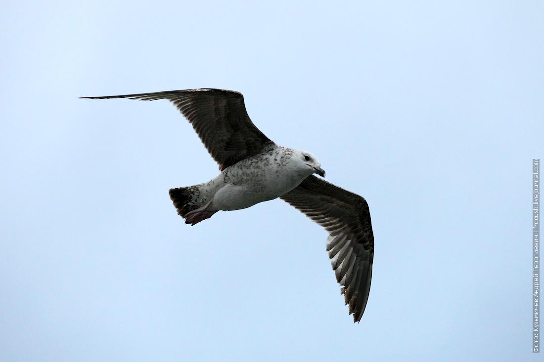 Молодая морская чайка