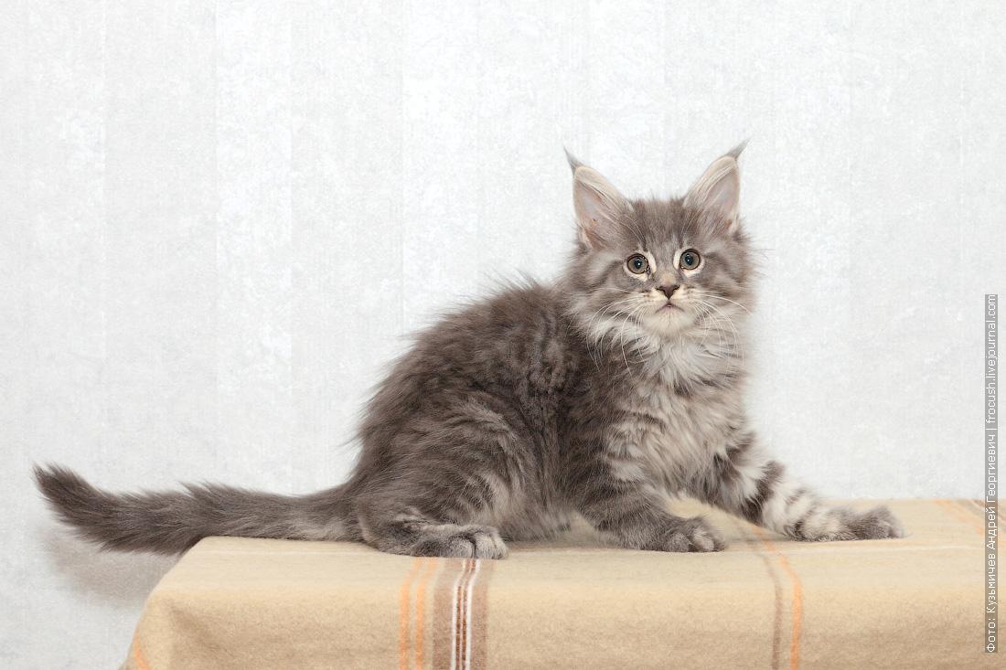 котенок мейн-кун из питомника