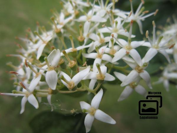 дерево цветет белым